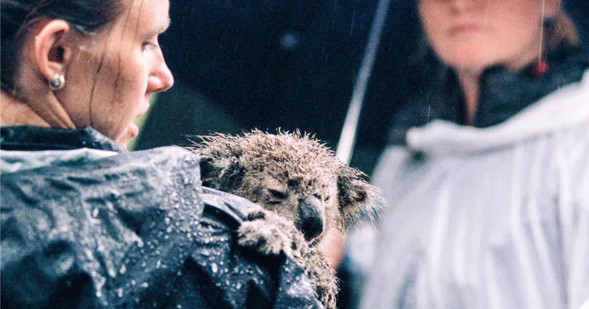 Rescued_Koala